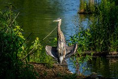 Flasher (agasfer) Tags: 2019 southcarolina greenville furman swanlake sony a6000 birds great blue heron sonye456355210oss