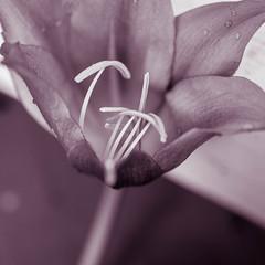 Inside (risaclics) Tags: 60mmmacro closeup june2019 nikond610d curves flora flowers lily monochrome pink stamen