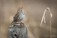 Savannah Sparrow (Turk Images) Tags: aspenparkland beaverhilllakearea passerculussandwichensis savannahsparrow agriculture alberta birds emberizidae sasp sparrows prairie spring