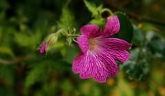 Pink generations (7 Blue Nights) Tags: thinkpink smileonsaturday throughherlens flower nature macro pink green