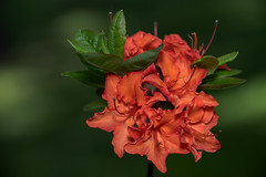 Azalea Mandarine Light (J-F No) Tags: azalea mandarine light flowers plants shrubs vegetal flora fleurs arbustes pentax 100mm