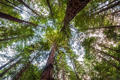 Looking up (Rodney Topor) Tags: landscape nz rotorua redwoods forest foliage green xf1024mmf4