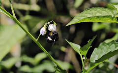 Xylocopa on Solanum (TJ Gehling) Tags: insect hymenoptera bee apidae carpenterbee xylocopa plant flower solanales solanaceae nightshade middlecreek albanyhill albanyca