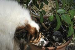 Nurseryman Ben (~ Liberty Images) Tags: dog pet animal collie ben critter sable canine spring buddy benedict