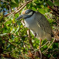 Yellow-crowned Night Heron II (Jim Frazier) Tags: 201801floridatrip 2019 ardeidae nyctanassaviolacea animals aves bayou beautiful beauty biota bird birding birds birdwatching brush dingdarlingnationalwildliferefuge fauna flora foliage herons january jimfraziercom leaf leaves life living loaf loafing lonely lonesome mangroves marsh nationalwildliferefuge natural nature nwr one perch perched perching plants portrait q4 roadtrip roost roosting sanibel sanibelisland single square sunny swamp tofinishediting usfws vacation water wetland wildlife winter instagram jfpblog