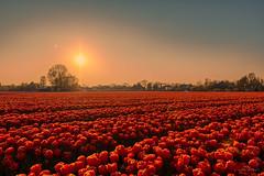 Tulips enjoying the last sunrays. (Alex-de-Haas) Tags: 1635mm d500 dutch europa europe holland nederland nederlands netherlands nikkor nikkor1635mm nikon nikond500 noordholland schoorldam agriculture akkerbouw beautiful beauty bloemen bloemenvelden boerenland bollenvelden bulbfields farmland farming flowerfields flowers landbouw landscape landscapephotography landschaft landschap landschapsfotografie lente lucht mooi polder pracht schoonheid skies sky spring sundown sunset tulip tulips tulp tulpen zonsondergang warmenhuizen northholland
