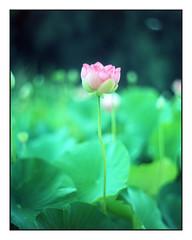 Flower (russty1964) Tags: filmphotography largeformat 4x5 speedgraphic kodakaeroektar kodakfilm
