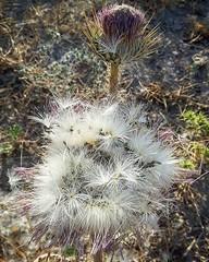 #گنار رو اگر برداشت نکنیم به این صورت زاد و ولد میکند. پوسته خاردار هر گل بنفش خوشرنگ میترکد و دانههای سبز با بالهای سفید به هر جا پراکنده میشود. کمی دیر رسیده بودیم و گنارها برای خوردن تلخ شده بود. چند گنار کوچک همهی سهم ما بود. البته مادر میگفت گ (khajehpoor) Tags: ifttt instagram گنار رو اگر برداشت نکنیم به این صورت زاد و ولد میکند پوسته خاردار هر گل بنفش خوشرنگ میترکد دانههای سبز با بالهای سفید جا پراکنده میشود کمی دیر رسیده بودیم گنارها برای خوردن تلخ شده بود چند کوچک همهی سهم ما البته مادر میگفت خشک دوای کاکشک است