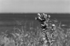 Chardon (ludob2011) Tags: flower smc pentax film bw bwfp kodax tmax xtol