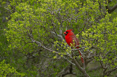 Red and Green (markvcr) Tags: red green cardinal nature bird wildlife