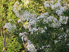Crepe Myrtle With White Blossoms. (dccradio) Tags: lumberton nc northcarolina robesoncounty outdoor outdoors outside nature natural whiteflowers flower floral flowers flowering bloom blooming blooms blossom blossoming blossoms greenery foliage june summer summertime friday evening fridayevening goodevening canon powershot elph 520hs