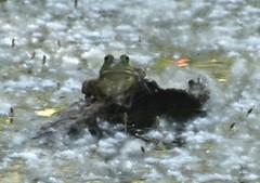 Surreal frog (EcoSnake) Tags: americanbullfrog lithobatescatesbeiana frogs amphibians water wildlife june summer idahofishandgame naturecenter