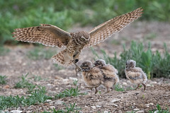 _8HB7140 (Hilary Bralove) Tags: owls coloradobirds bird birds wildlife nature coloradowildlife birdsofprey burrowingowls owl wildbirds