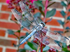 Great Blue Skimmer. (dccradio) Tags: lumberton nc northcarolina robesoncounty outdoor outdoors outside brick brickwall crepemyrtle crapemyrtle wings insect dragonfly wildlife greatblueskimmer leaf leaves foliage nature natural wingedcreature june summer summertime friday evening fridayevening goodevening