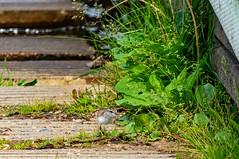 Spotted Sandpiper Chick | Whitney Lakes, Alberta, Canada (TheNovaScotian1991) Tags: spottedsandpiper chick newborn smallbird bird beautiful innocent outdoor boatlaunch grass weeds vegetation cement whitneylakesprovincialpark wood water alberta canada albertaparks