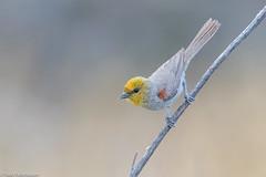 CA3I4728-Verdin (tfells) Tags: verdin bird nature wildlife gilbertwaterranch arizona auriparusflaviceps phoenix