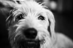 Belinha (Fe_Lima) Tags: dog pet blackandwhite blackwhite lovely nikon nikond750