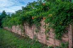 Overgrowth (agasfer) Tags: 2019 southcarolina greenville sony a6000 flowers swamprabbittrail fence 7artisans 7artisans11825mm orange bells