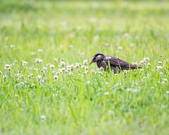 Sturnus cineraceus (shinichiro*) Tags: 20190618dsc1567 2019 crazyshin nikon1v3 v3 1nikkorvr70300mmf4556 june summer birds gyoda saitama japan jp 古代蓮の里公園 ムクドリ 48105956807 5315276 201906gettyuploadesp