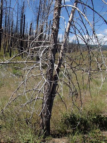 Pupating on dead juniper
