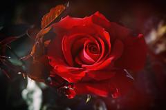 Rose 37 (lakeside_cat) Tags: rose red redrose redflower boke バラ ばら 薔薇 赤 赤い花 赤いバラ 赤い薔薇 赤いばら ボケ foveon sigma