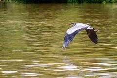 DSC_3674-2 (Tumbling Run Photography) Tags: birds audubonsociety great blue heron bird avian lehigh valley lehighvalley cedarbeach lakemuhlenberg birdwatching nature wild wildlife nikon nikond500