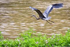DSC_3665-2 (Tumbling Run Photography) Tags: birds audubonsociety great blue heron bird avian lehigh valley lehighvalley cedarbeach lakemuhlenberg birdwatching nature wild wildlife nikon nikond500