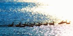 Lake Norman Geese (KellarW) Tags: northcarolina lkn intothesunset lakenorman sunset nc geese