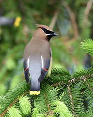 Cedar Waxwing (Photos By JM) Tags: nature birds waxwings