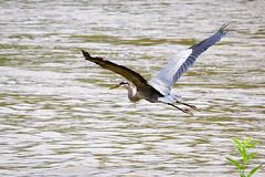 DSC_3667-2 (Tumbling Run Photography) Tags: birds audubonsociety great blue heron bird avian lehigh valley lehighvalley cedarbeach lakemuhlenberg birdwatching nature wild wildlife nikon nikond500