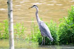 DSC_3611-2 (Tumbling Run Photography) Tags: birds audubonsociety great blue heron bird avian lehigh valley lehighvalley cedarbeach lakemuhlenberg birdwatching nature wild wildlife nikon nikond500