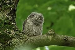 Eastern Screech Owlet (kevinwg) Tags: eastern screech owl easternscreechowl bird prey raptor tree branch leaves owlet baby fledged