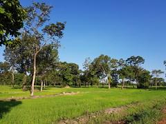 Rice Paddies near Ban Nikhom Dong Bang 1 (SierraSunrise) Tags: thailand phonphisai nongkhaiisaan esarn rice paddyrice ricepaddy ricepaddies farming agriculture crops grain poaceae