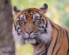 Diana (ToddLahman) Tags: diana sumatrantiger sandiegozoosafaripark tiger tigers tigertrail exhibitb outdoors female portrait photooftheday photography profileheadshot photographer nikond500 nikonphotography nikon closeup