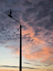 Bocian w Paniówkach (mirosławkról) Tags: wild wildlife bird animal stork 150600 nikonnaturephotography ciconia sunset orange orangeandblue ornithology
