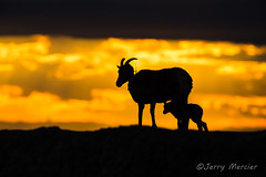 _VM_2579 - Bighorn ewe and lamb at sunset. (j. mercier) Tags: nature beauty mercier outdoor outside dakota light sunset sunsets sky clouds silhouette silhouettes animals wildlife sheep bighorn bighorns oviscanadensis ewe famale lamb baby babies young spring radio collar radiocollar collared rockymountainbighorns mom dramatic skies