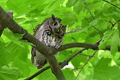 Eastern Screech Owl (kevinwg) Tags: eastern screech owl easternscreechowl bird prey raptor tree branch leaves