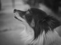 Chance 11 (Noel Alvarez1) Tags: pet dog animal portrait black white bw bokeh shallow depth field dof f17