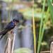 Barn Swallow ~ Hirundo rustica ~ Huron River and Watershed, Michigan