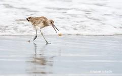 Tossing his food (Photosuze) Tags: birds avians aves willets shorebirds food eating beach ocean animals nature wildlife