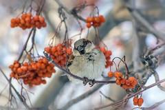 Неснигирь) (marussia1205) Tags: воробей птица зима