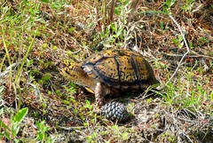 Male Eastern Box Turtle, Cape May County, New Jersey, June 2019 (sstaedtler) Tags: box turtle nature outside newjersey herping conservation wildlife animal reptile herps