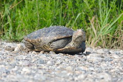 Diamondback Terrapin, Atlantic County, New Jersey, June 2019 (sstaedtler) Tags: diamondback terrapin nature turtle wildlife animal outdoors newjersey atlanticcounty herping conservation