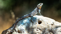 Sniffing the Air, Rough-tailed Rock Agama (Stellagama stellio), Dibeen Forest Reserve, Jordan (MikeM_1201) Tags: roughtailedrockagama lizard animal wildlife nature d500 perched rock dibeennationalforest jordan reptile