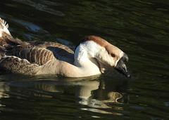 Domestic Swan Goose (Anser cygnoides) (sonstroem) Tags: domesticswangoose ansercygnoides goose water waterfowl wallpaper nature bird birdwatching calm summer