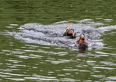 190423.083 Chase (tulak56) Tags: 2019 europe uk london kewgardens duck bird water