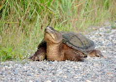 Large Common Snapping Turtle, Atlantic County, New Jersey, June 2019 (sstaedtler) Tags: snappingturtle turtle nature wildlife outdoors herping conservation animal newjersey forsythe