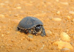 Baby/Yearling Eastern Mud Turtle, Atlantic County, New Jersey, June 2019 (sstaedtler) Tags: turtle mud nature atlanticcountynj newjersey reptile outdoors herping conservation animal baby