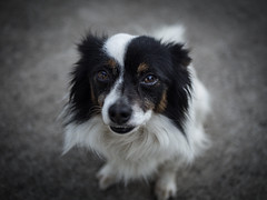 Chance Straigth Face (Explore) (Noel Alvarez1) Tags: dog pet animal photography dof unsaturated bleach by pass