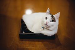 2019.6.17 (Nazra Z.) Tags: okayama japan 2019 raw vscofilm munchkin cat sitting box floor home indoors pet